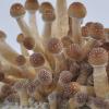 Buy Golden Teacher Spores syringe